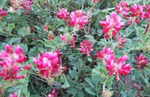 tolfa in fiore