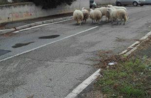 pecore san liborio