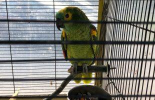 CIVITAVECCHIA - Il pappagallo rinvenuto a casa di uno dei denunciati