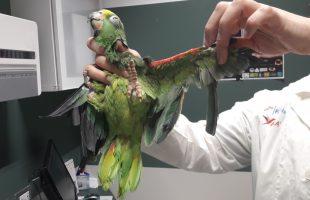 oipa pappagallo